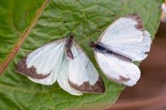 Μεγάλη νότια άσπρη πεταλούδα δύο στα διαφορετικά στάδια της ερωτοτροπίας ΙΙ στοκ φωτογραφία με δικαίωμα ελεύθερης χρήσης