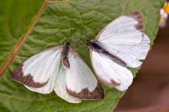 Μεγάλη νότια άσπρη πεταλούδα δύο στα διαφορετικά στάδια της ερωτοτροπίας IV στοκ εικόνες