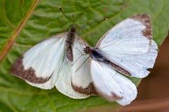Μεγάλη νότια άσπρη πεταλούδα δύο στα διαφορετικά στάδια της ερωτοτροπίας Β στοκ φωτογραφία με δικαίωμα ελεύθερης χρήσης