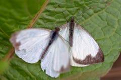 Μεγάλη νότια άσπρη πεταλούδα δύο στα διαφορετικά στάδια της ερωτοτροπίας VI στοκ εικόνες με δικαίωμα ελεύθερης χρήσης
