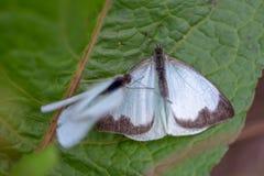 Μεγάλη νότια άσπρη πεταλούδα δύο στα διαφορετικά στάδια της ερωτοτροπίας VII στοκ εικόνες με δικαίωμα ελεύθερης χρήσης