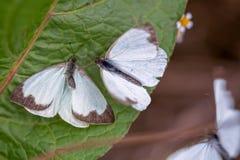Μεγάλη νότια άσπρη πεταλούδα δύο στα διαφορετικά στάδια της ερωτοτροπίας VIII στοκ εικόνες