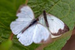 Μεγάλη νότια άσπρη πεταλούδα δύο στα διαφορετικά στάδια της ερωτοτροπίας ΙΧ στοκ φωτογραφίες