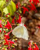 Μεγάλη νότια άσπρη πεταλούδα στα φωτεινά κόκκινα κρεμώντας λουλούδια Στοκ Εικόνα