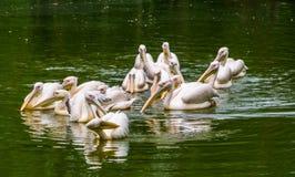 Μεγάλη ομάδα μεγάλων άσπρων πελεκάνων που επιπλέει στο νερό μαζί, κοινό specie πουλιών νερού από την Ευρασία στοκ φωτογραφίες