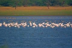 Μεγάλη ομάδα φλαμίγκο και χήνας gooses που στηρίζονται στη λίμνη στοκ φωτογραφίες