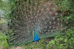 μεγάλη ουρά peacock Στοκ Φωτογραφίες