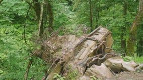 Μεγάλη πέτρα όλες σπάγγου ριζών δέντρων για να επιζήσει γύρω φιλμ μικρού μήκους