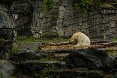 Μεγάλη πολική αρκούδα κατά τη διάρκεια μιας βροχής με το μικρό παιδί Εύθυμη και περίεργη διάθεση στα άγρια ζώα r στοκ εικόνα με δικαίωμα ελεύθερης χρήσης