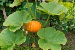 Μεγάλη πορτοκαλιά ανάπτυξη κολοκύθας στον κήπο Στοκ Εικόνες