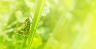 Μεγάλη πράσινη grasshopper συνεδρίαση σε μια λεπίδα της χλόης στο όμορφο s Στοκ φωτογραφίες με δικαίωμα ελεύθερης χρήσης