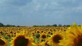 Μεγάλη συγκομιδή του ηλίανθου στον τομέα Τα λουλούδια πετούν επίσης τις μέλισσες απόθεμα βίντεο