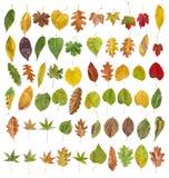 Μεγάλη συλλογή του χρωματισμένου φύλλου που απομονώνεται από χρυσό διακοσμητικό Στοκ Εικόνα
