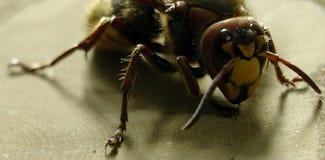 Μεγάλη σφήκα hornet Στοκ εικόνα με δικαίωμα ελεύθερης χρήσης
