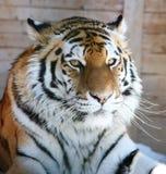 μεγάλη τίγρη Στοκ Εικόνες