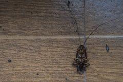 Μεγάλη τροπική κατσαρίδα νεκρή στην πλάτη του σε ένα καφετί κεραμωμένο πάτωμα στοκ εικόνες