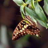Μεγάλη τροπική συνεδρίαση πεταλούδων στην πράσινη χλόη Στοκ Φωτογραφίες