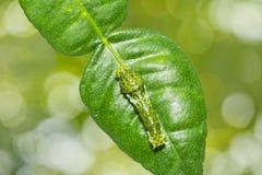 Μεγάλη των Μορμόνων κάμπια Papilio memnon Στοκ εικόνες με δικαίωμα ελεύθερης χρήσης