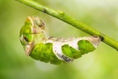 Μεγάλη των Μορμόνων κάμπια Papilio memnon Στοκ φωτογραφία με δικαίωμα ελεύθερης χρήσης