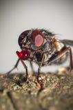 Μεγάλη eyed μύγα με το μπαλόνι Στοκ φωτογραφίες με δικαίωμα ελεύθερης χρήσης