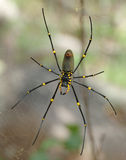 μεγάλη nephile αράχνη Στοκ φωτογραφίες με δικαίωμα ελεύθερης χρήσης