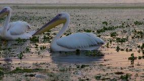 Μεγάλοι άσπροι πελεκάνοι στην αυγή στο δέλτα Δούναβη φιλμ μικρού μήκους