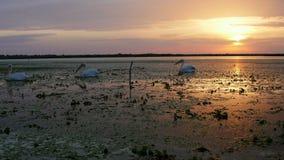 Μεγάλοι άσπροι πελεκάνοι στην αυγή στο δέλτα Δούναβη απόθεμα βίντεο