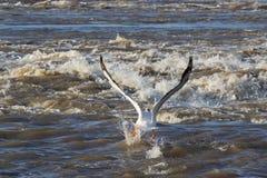 Μεγάλοι άσπροι πελεκάνοι (onocrotalus Pelecanus) που πετούν στο μακρινό Βορρά για το ζευγάρωμα στον ποταμό σκλάβων, ορμητικά σημε στοκ εικόνα