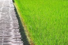 Μεγάλοι τομέας ρυζιού και διάβαση πεζών μπαμπού στοκ φωτογραφίες με δικαίωμα ελεύθερης χρήσης