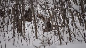 Μεγάλοι όμορφοι καφετιοί άλκες και μόσχος που στηρίζονται στο βαθύ κρύο χειμερινό δάσος στην αγριότητα αρκτικών κύκλων απόθεμα βίντεο