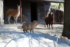 Μεγάλοι Capybara και ο λάμα η προβατοκάμηλος εγκλωβίζουν υπαίθρια στο ζωολογικό κήπο της Μόσχας στοκ φωτογραφία με δικαίωμα ελεύθερης χρήσης