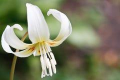 μεγάλος άνθισε λευκό λ&omic Στοκ εικόνες με δικαίωμα ελεύθερης χρήσης