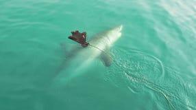Μεγάλος άσπρος καρχαρίας που χαράζει το δόλωμα σφραγίδων στοκ φωτογραφίες με δικαίωμα ελεύθερης χρήσης