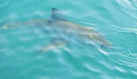 Μεγάλος άσπρος καρχαρίας που χαράζει το θέλγητρο κρέατος κοντά στο κλουβί κατάδυσης στοκ εικόνα με δικαίωμα ελεύθερης χρήσης