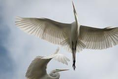 Μεγάλος άσπρος πετώντας τσικνιάς στοκ εικόνες με δικαίωμα ελεύθερης χρήσης
