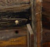 Μεγάλος ένας καφετής, κρεμώντας άνω πλευρά αραχνών σάκων - κάτω στο spiderweb του Στοκ φωτογραφία με δικαίωμα ελεύθερης χρήσης