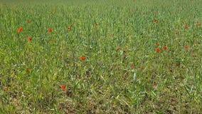 Μεγάλος ανθίζοντας τομέας με τα μέρη των λουλουδιών και spikelets παπαρουνών Ποικίλα χορτάρια έξω από την πόλη το καλοκαίρι απόθεμα βίντεο