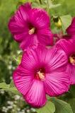 Μεγάλος-ανθισμένα ρόδινα hibiscus Στοκ εικόνες με δικαίωμα ελεύθερης χρήσης