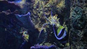 Μεγάλος αστακός που σέρνεται στη δεξαμενή θαλασσινού νερού απόθεμα βίντεο