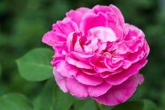Μεγάλος αυξήθηκε λουλούδι Στοκ εικόνες με δικαίωμα ελεύθερης χρήσης