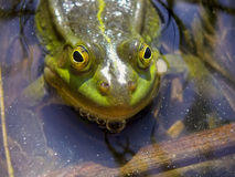 μεγάλος βάτραχος πράσινο Στοκ Εικόνα