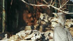 Μεγάλος γκρίζος κορμοράνος στο υπόβαθρο των πετρών και των κλάδων απόθεμα βίντεο