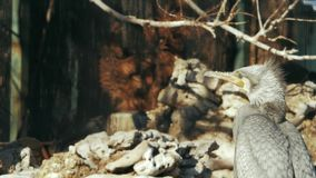 Μεγάλος γκρίζος κορμοράνος στο υπόβαθρο των πετρών και των κλάδων φιλμ μικρού μήκους