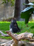 Μεγάλος γορίλλας στο ζωολογικό κήπο Στοκ φωτογραφία με δικαίωμα ελεύθερης χρήσης
