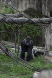 Μεγάλος γορίλλας Silverback σε έναν ζωολογικό κήπο στοκ εικόνες