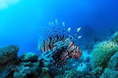 Μεγάλος διάβολος firefish Στοκ Φωτογραφία