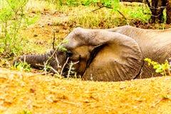 Μεγάλος ελέφαντας που βάζει σε μια μεγάλη τρύπα στην άμμο στο εθνικό πάρκο Kruger, Νότια Αφρική Στοκ φωτογραφία με δικαίωμα ελεύθερης χρήσης