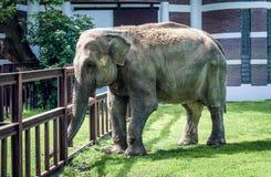 Μεγάλος ελέφαντας που περπατά στο ζωολογικό κήπο στοκ φωτογραφία