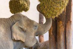 Μεγάλος ελέφαντας που στο ζωολογικό κήπο κοντά επάνω Στοκ φωτογραφία με δικαίωμα ελεύθερης χρήσης