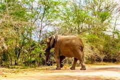 Μεγάλος ελέφαντας σε Olifantdrinkgat, μια τρύπα ποτίσματος κοντά στο στρατόπεδο υπολοίπου Skukuza, στο εθνικό πάρκο Kruger Στοκ Εικόνα